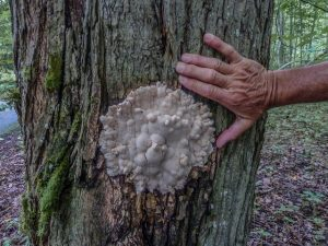 Fungi growing out of tree wound.