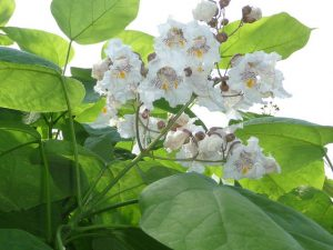 White flowers from the Catalpa tree.
